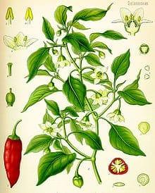Paprika Pflanze