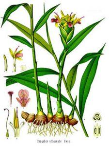 Ingwer-Pflanze